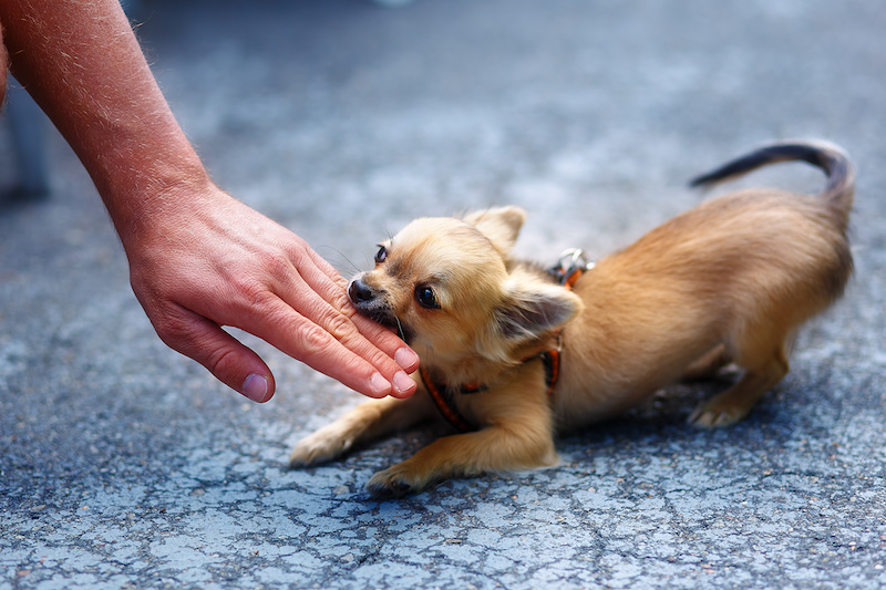 Chihuahua puppy biting hand.