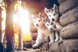 Alaskan malamute puppies sitting in a doorway.
