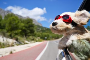 Happy dog with goggles who has her head out the window.